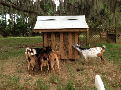 Building a Hay Rack For Goats